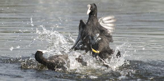 Coots often clash in disputes over territory - Bob Coyle - Bob Coyle