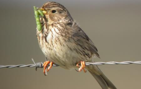 Corn bunting collecting caterpillars for young - Dave Appleton - Dave Appleton