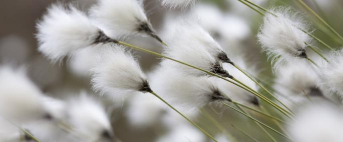 - Cottongrass - Tom Marshall