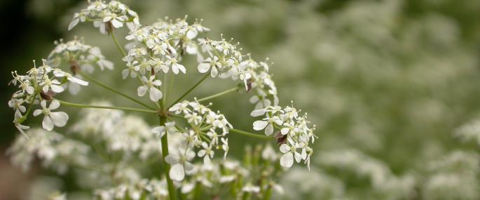 Cow parsley - Philip Precey - Philip Precey