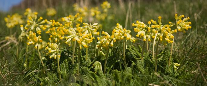 Cowslip - Paul Lane - Paul Lane