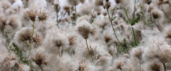 Creeping thistle seedheads - Philip Precey - Philip Precey