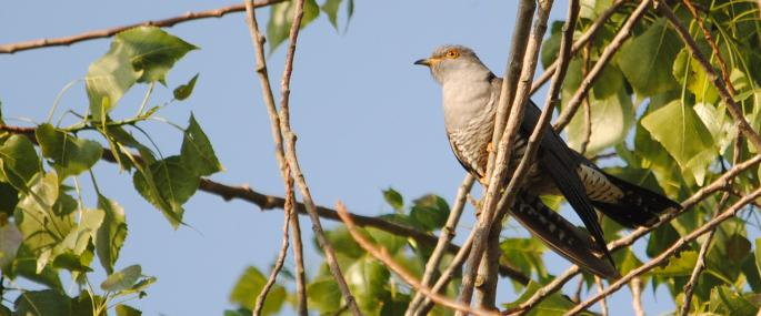 Cuckoos are often mistaken for birds of prey - Amy Lewis - Amy Lewis