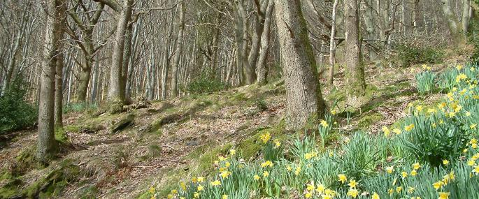 Wild daffodils in spring at Ivy Crag Wood -