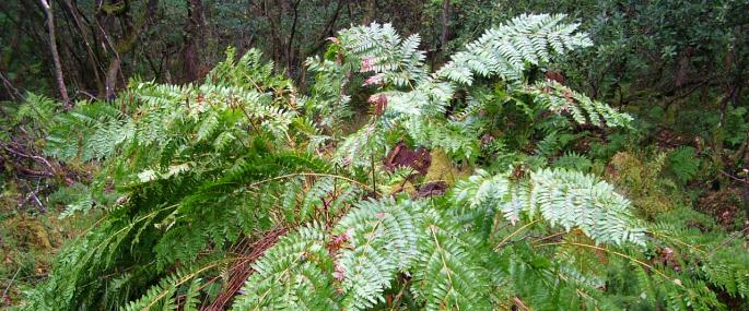 Royal Fern at Orton Moss - Cumbria Wildlife Trust