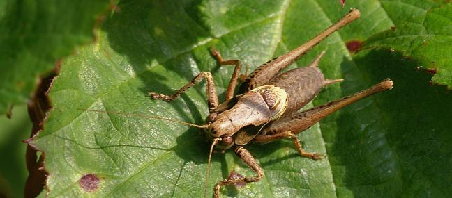 Dark bush cricket - David Longshaw - David Longshaw