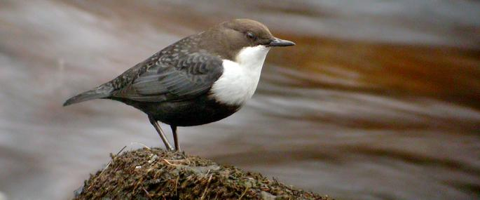 The characteristic dipper pose overlooking rushing water - Stefan Johansson - Stefan Johansson