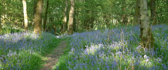 Bluebells at Dorothy Farrer's Spring Wood - Cumbria Wildlife Trust
