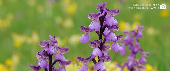 Green-winged Orchids at Draycote Meadows - Steven Cheshire (WWT) 2012