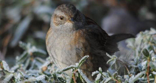 Dunnock in the frost - Amy Lewis - Amy Lewis