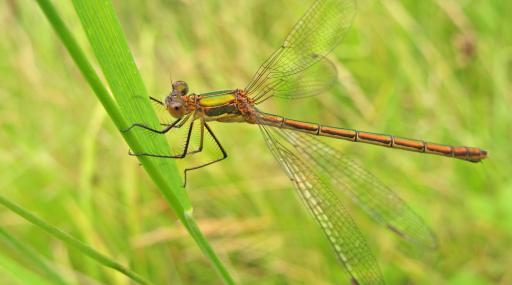 Emerald damselfly - Rachel Scopes - Rachel Scopes