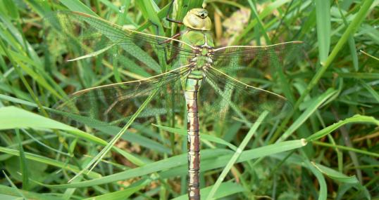 Emperor dragonfly - Neil Philips - Neil Philips