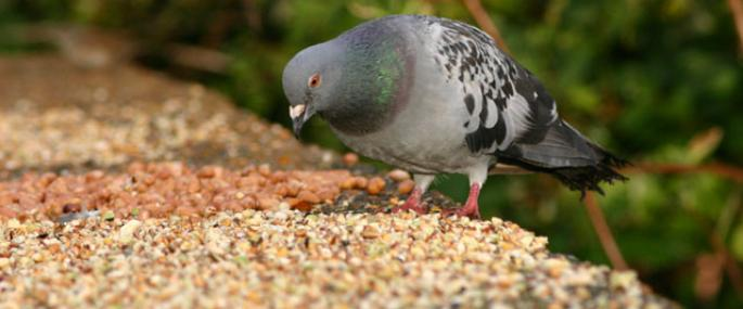 Feral pigeons will feed at bird tables - Ian Rose - Ian Rose
