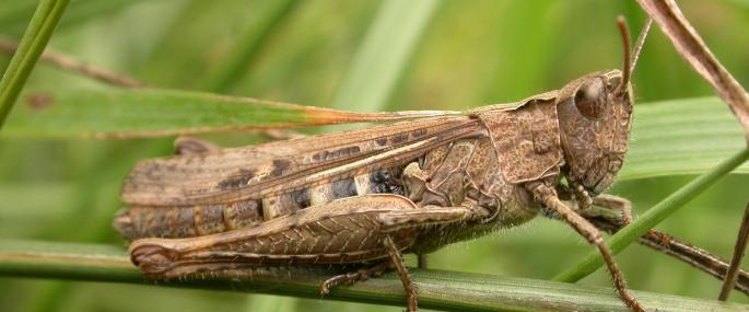 Field grasshopper - Philip Precey - Philip Precey