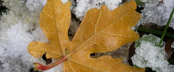 Field maple leaf - Philip Precey - Philip Precey