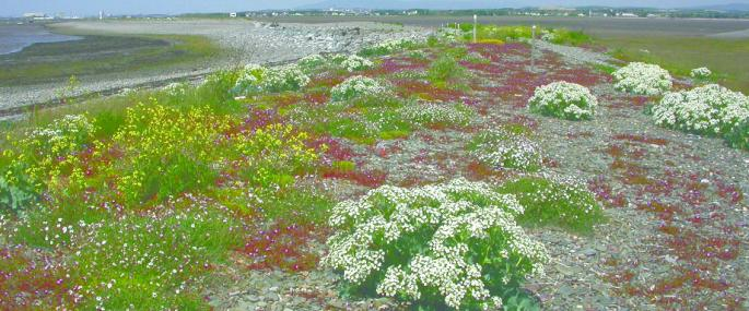 Shingle vegetation at Foulney island -
