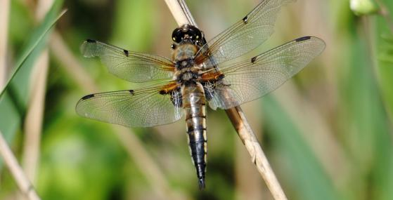 Four-spotted chaser dragonfly - Amy Lewis - Amy Lewis