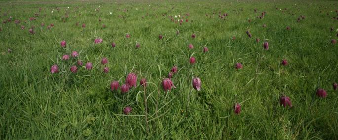 Fox Fritillary Meadow - Suffolk Wildlife Trust