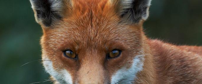 Red fox - Elliot Smith - Elliot Smith