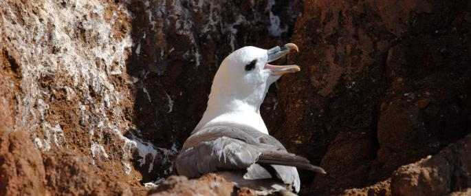 The cliff nest of a fulmar - Amy Lewis - Amy Lewis