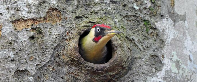 Green woodpecker in a nest hole - Steve Waterhouse - Steve Waterhouse