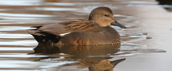 Male gadwall have dark bills compared to the yellow-coloured bills of females - Rich Andrews  - Rich Andrews