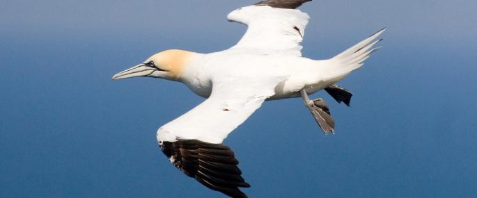 Gannet in flight - Tom Marshall - Tom Marshall