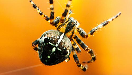Garden spider in web - Chris Maguire - Chris Maguire