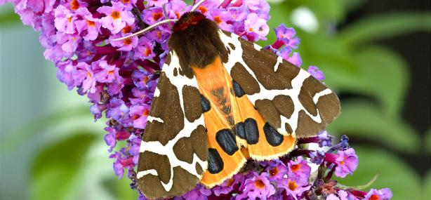 Garden tiger moth on buddleia - Denis Jackson - Denis Jackson