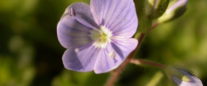 Germander speedwell - Philip Precey - Philip Precey