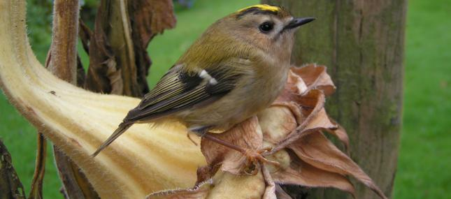 Goldcrest - Richard Burkmar - Richard Burkmar