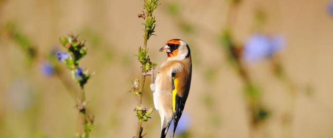 Goldfinch feeding on chicory seeds - Amy Lewis - Amy Lewis