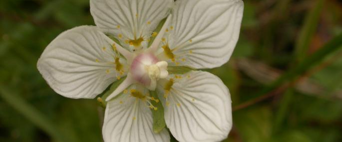 Grass-of-Parnassus - Philip Precey - Philip Precey