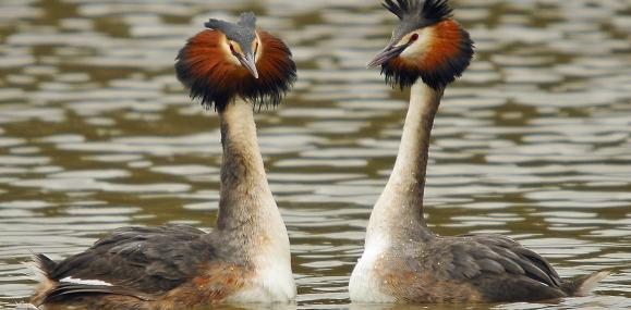 A pair of grebes displaying - Steve Waterhouse - Steve Waterhouse