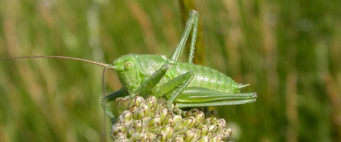Great green bush cricket - Bruce Shortland - Bruce Shortland