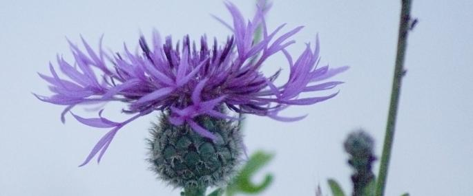 Greater knapweed - Dominic Alves - Dominic Alves
