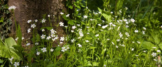 Greater stitchwort - Paul Lane - Paul Lane