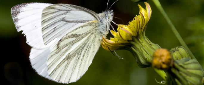 Green-veined white butterfly - Mike Breedon - Mike Breedon