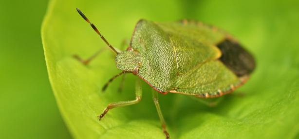 Green shield bug - Rachel Scopes - Rachel Scopes