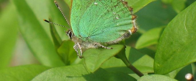 Green hairstreak butterfly - Sue Crookes - Sue Crookes