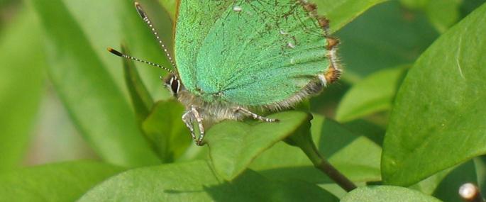 Green hairstreak butterfly - Sue Crookes - Sue Crookes