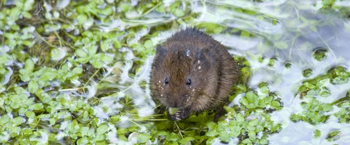 Greenfields water vole  - John Harding