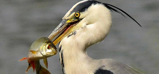 Herons will take large fish, frogs and even water voles - Steve Waterhouse - Steve Waterhouse