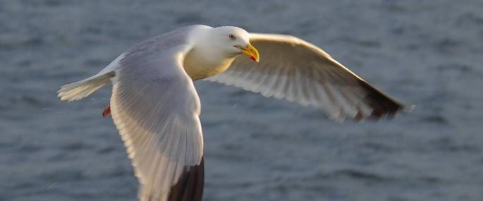 Herring gull in flight - Gillian Day - Gillian Day