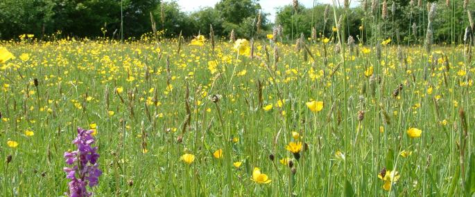 Houghton Meadows - Wildlife Trust BCN