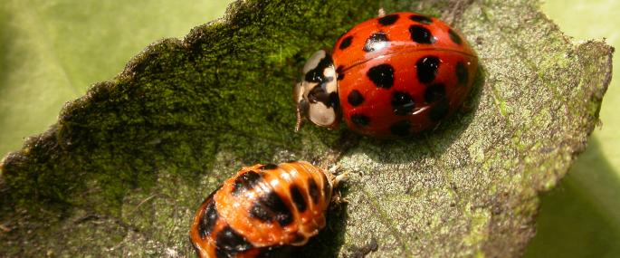Adult harlequin ladybird and larvae - Philip Precey - Philip Precey