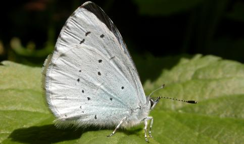 Holly blue butterfly - Philip Precey - Philip Precey