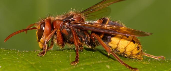 Výsledek obrázku pro Hornet