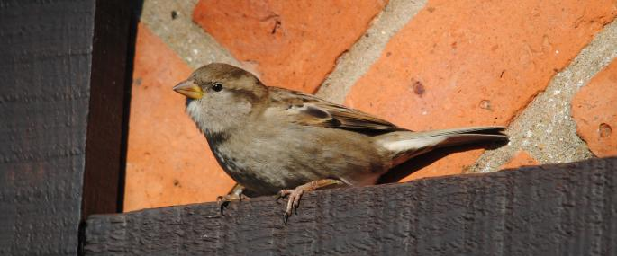 Female house sparrow  - Amy Lewis - Amy Lewis