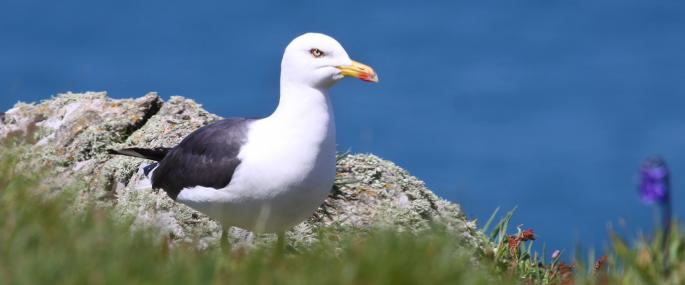 Great black-backed gull - Lynne Newton - Lynne Newton